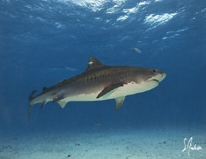 The Tiger Sharks always swim methodically across Tiger Be... by Steven Anderson 